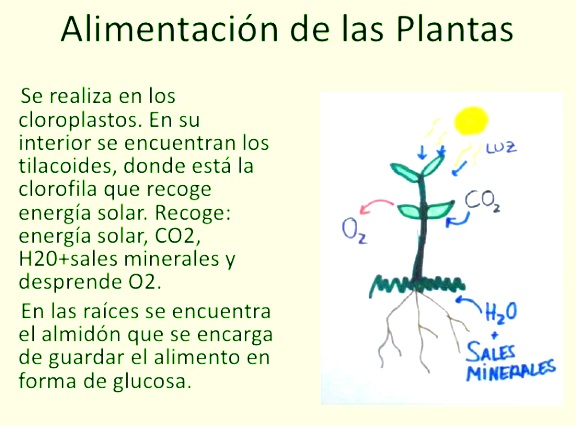 ¿Cómo se almacena la glucosa en el reino vegetal?