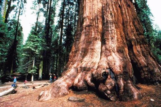 ¿Cuál es la planta más grande del reino vegetal?