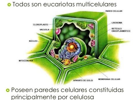 ¿Por qué el reino vegetal es multicelular?