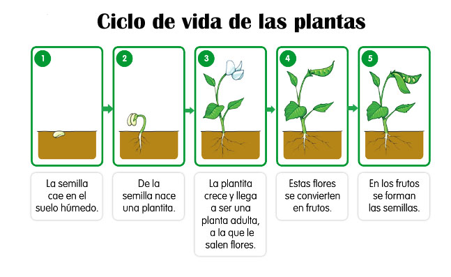 ¿Cuál es el ciclo de la vida de las plantas?