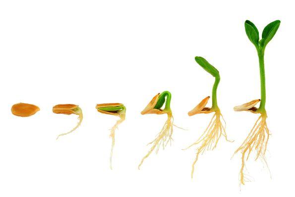 ¿Cómo crecen las semillas?