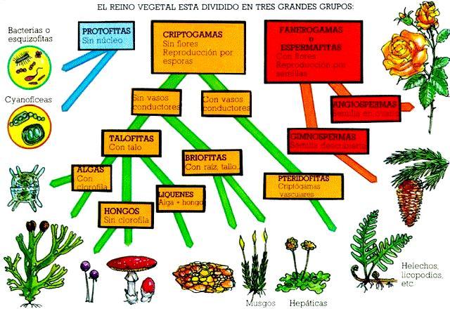 ¿Cuáles son los organismos que pertenecen al reino vegetal?